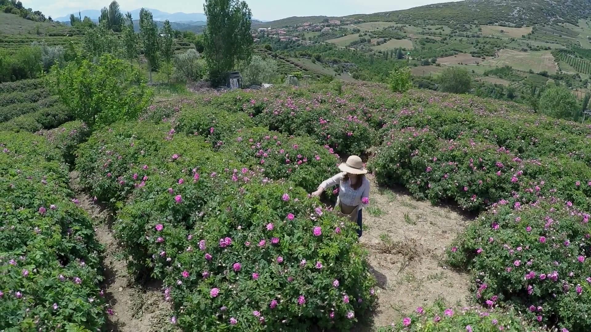 Türkiyenin Gül bahçesi Isparta'da Gül Hasadı