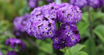 Heliotrope (Yalancı Vanilya Çiçeği)
