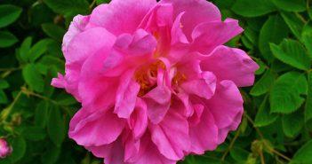 Rose Damescana
